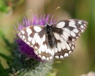 [Marbled white butterfly]
